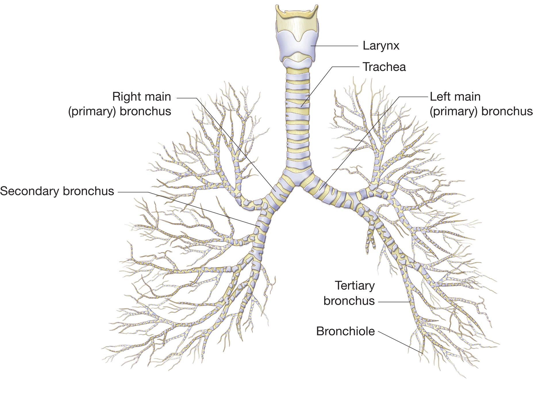 The Bronchial Tree  Note How Each Main Bronchus Enters A