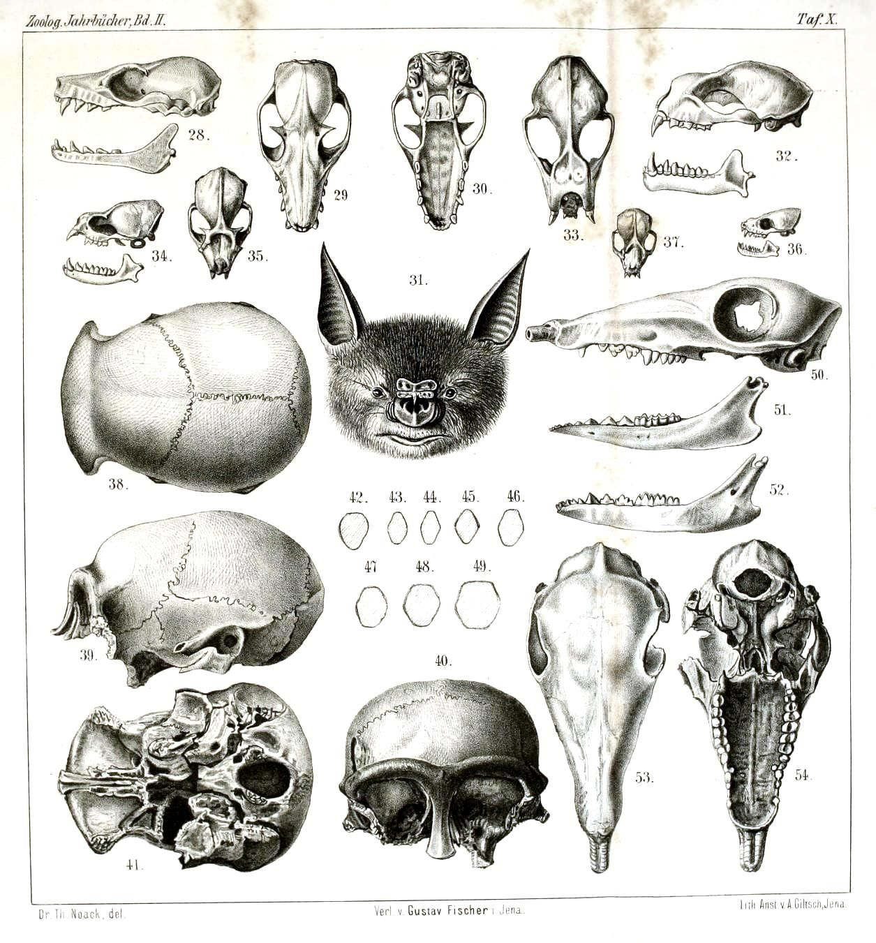 Magnificent Animal Skull Anatomy Ensign - Anatomy and Physiology ...