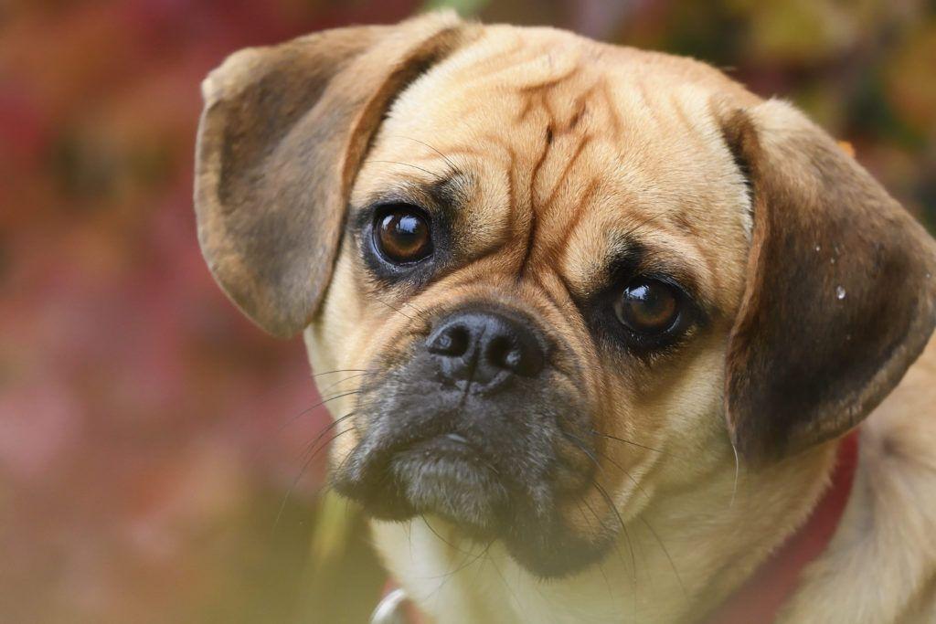 All About The Puggle Breed Puggle Pug Beagle Mix Breeds