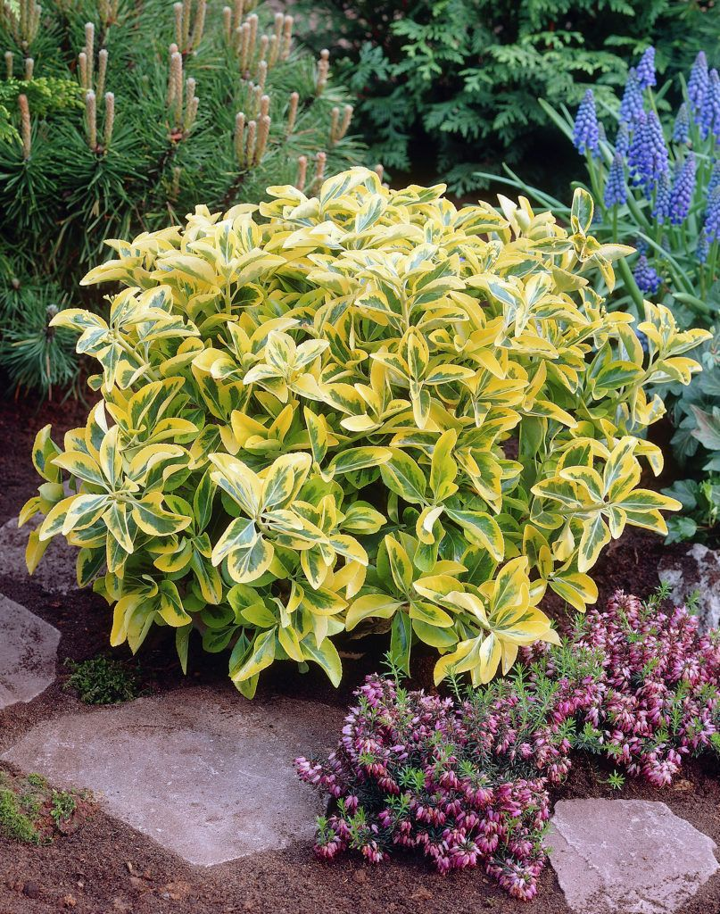 Euonymus japonicus 39 aureus 39 hardy to usda zone 6 for Best landscaping plants and bushes