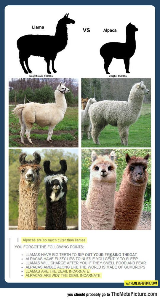 The Difference Between A Llama And An Alpaca Cute Animals Funny