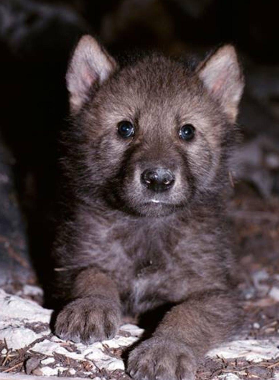 Pin by john r horrocks ii on wolf pinterest wolf