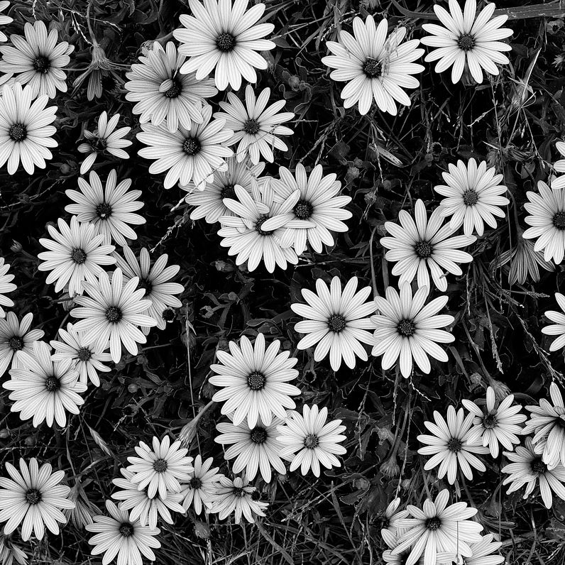 Black and White Flowers A Study in Form Black, white