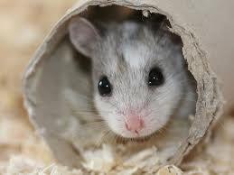 hamster ruso cuidados