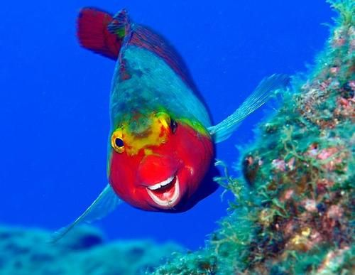 Caribbean Sea Creatures: Very Rare Caribbean Clown Snapper, This Is One Happy Fish