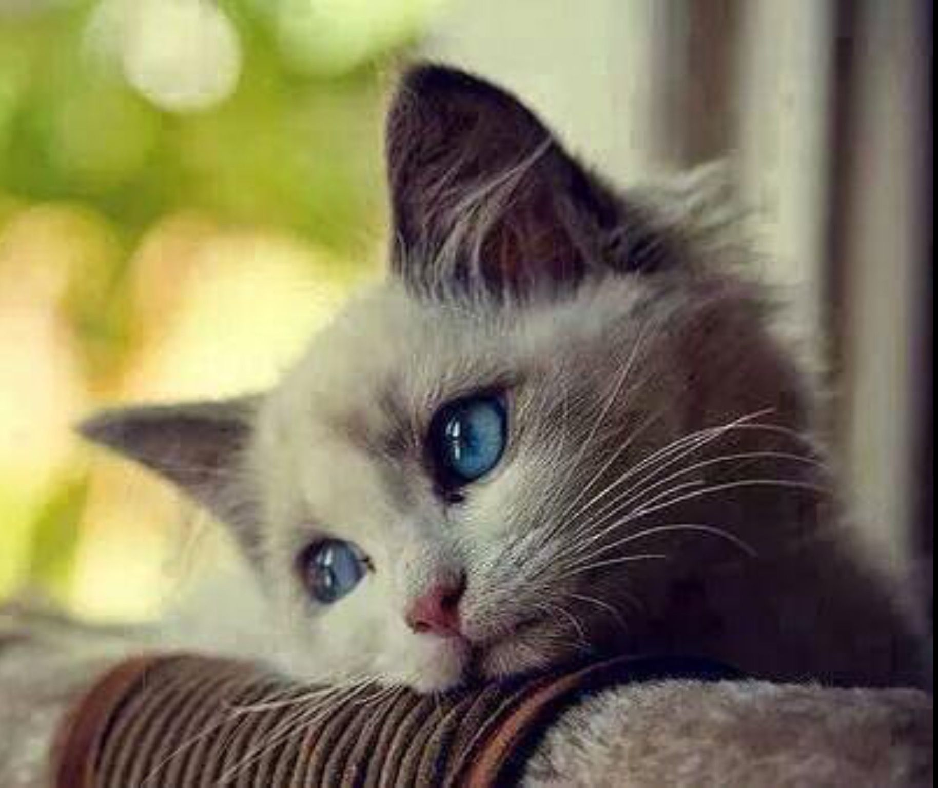 Pin By Linda Bengtson On Syya ƒyyayau ƒyaiyeh ѕ Cats American Bobtail Cat Cat Eye Discharge