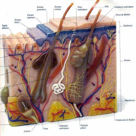 Anatomía y fases de crecimiento del pelo | EVENTOS DE SALUD .BELLEZA ...