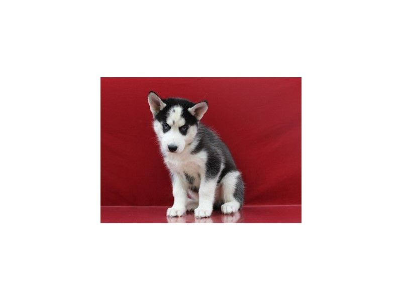 Checkout This Cute Siberian Husky 1035 At Petland Jacksonville