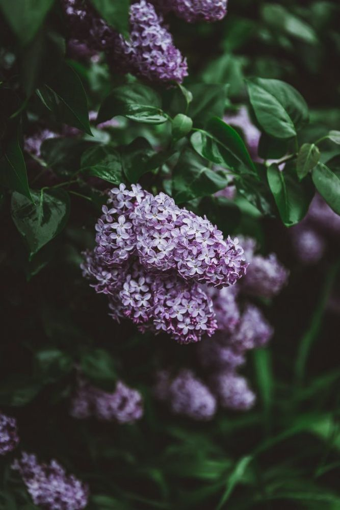 How to Keep Lilacs from Wilting After Cutting - Chews Local