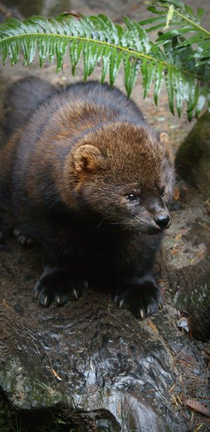 Proposal To List West Coast Population Of Fisher As Threatened Fisher Animal Fisher Cat North American Wildlife