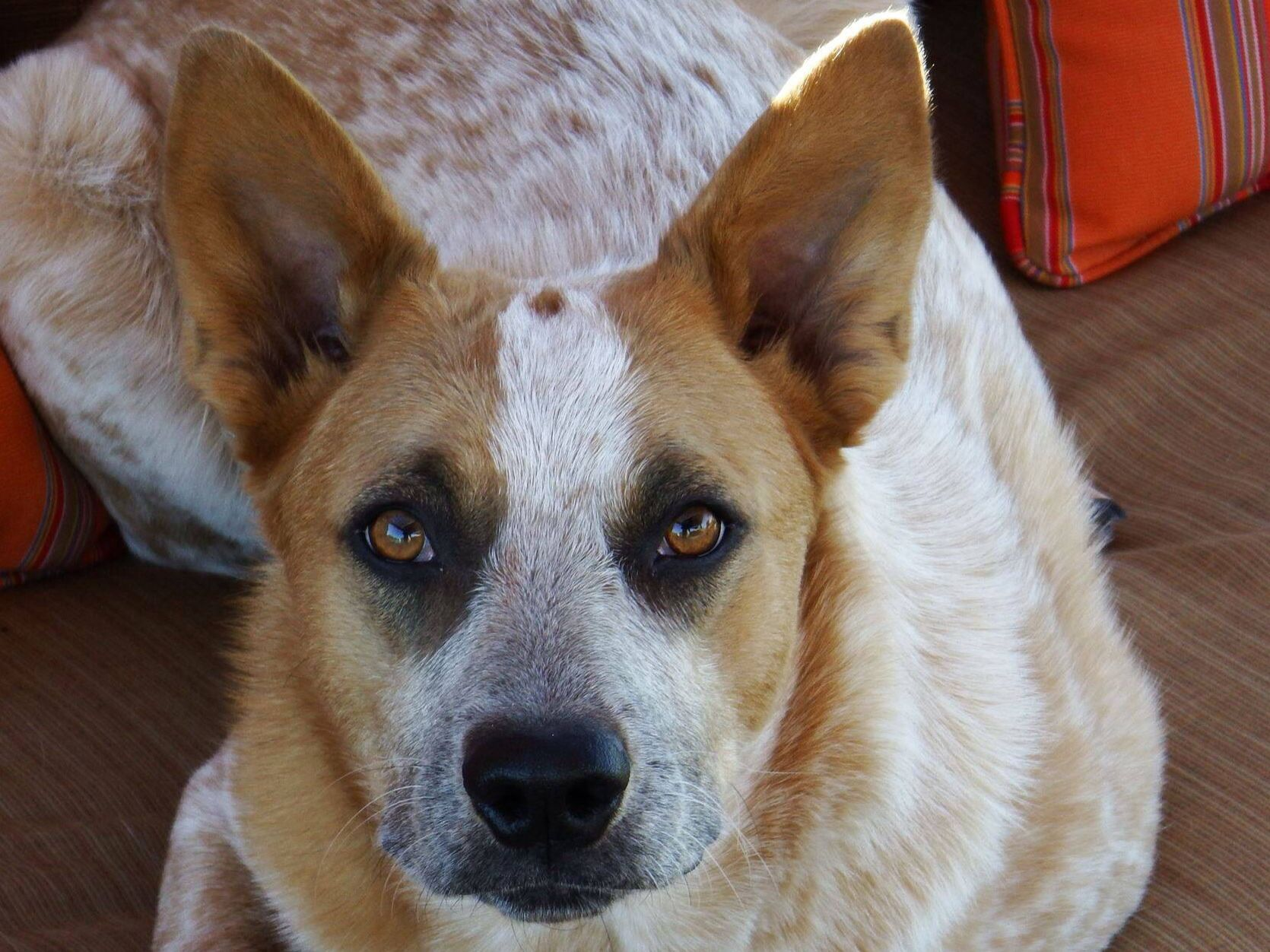 Our Red Heeler Rosie Has Eyes Like This Looks Like She Uses Eye