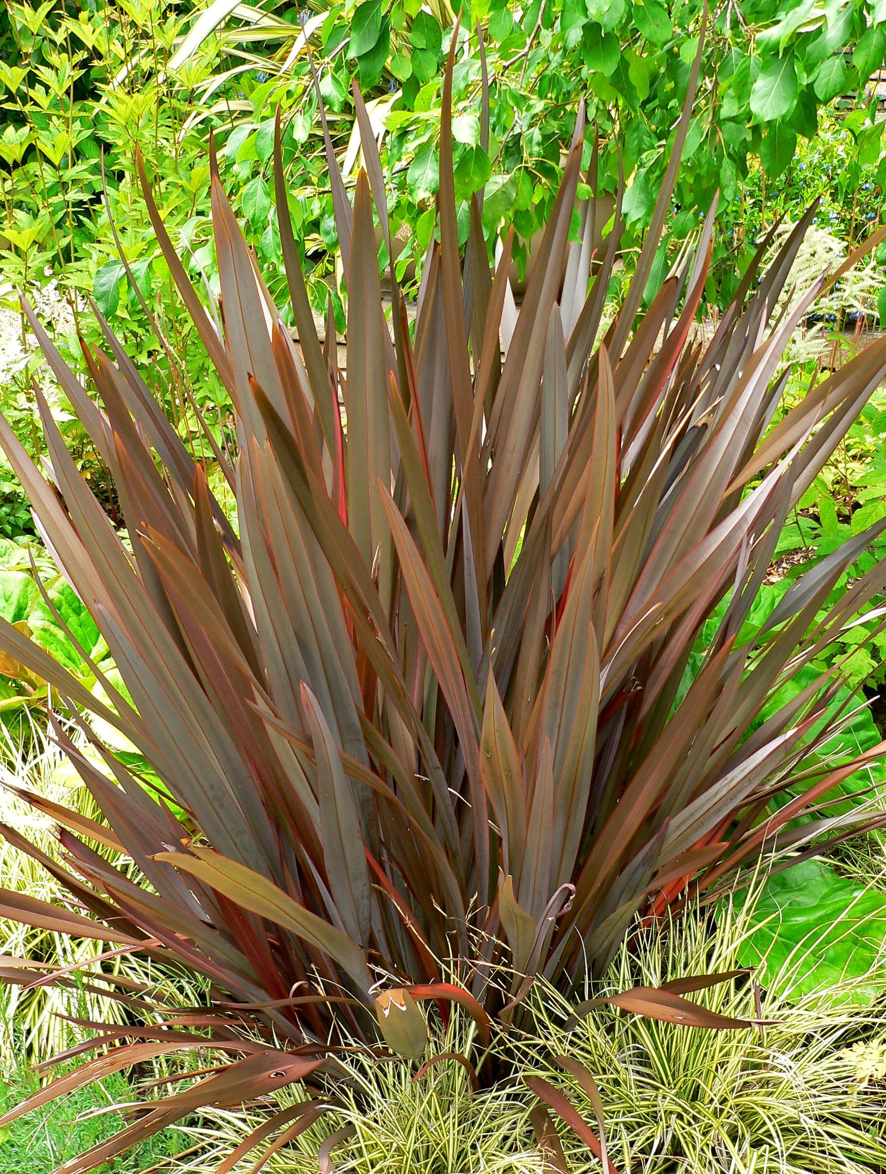 Phormium Amazing Red Amazing Red New Zealand Flax Plants Around Pool New Zealand Flax Plants