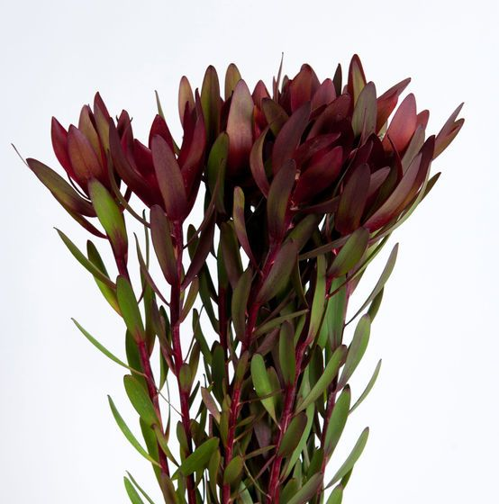 leucadendron safari sunset flora pinterest safari flowers and gardens. Black Bedroom Furniture Sets. Home Design Ideas
