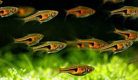 Available Online For Ordering Now At Our Store Glowlight Rasbora Check It Out Here Http Www Freshnmarine Glowlight Tropical Fish Aquarium Aquarium Fish