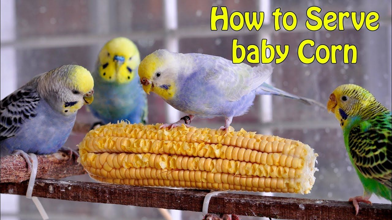 How To Feed Budgies Baby Corn The Best Food For For Pet Birds