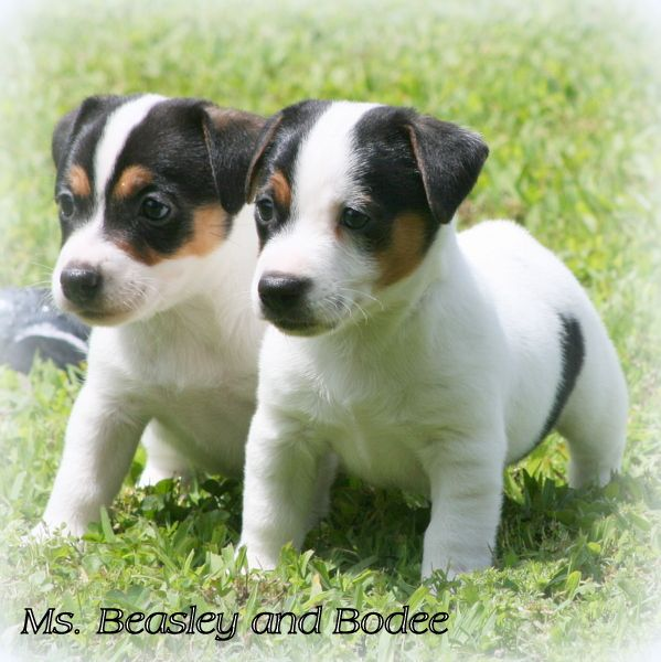Hobbit Hill Jack Russells | Outstanding Quality Jack Russell Terriers