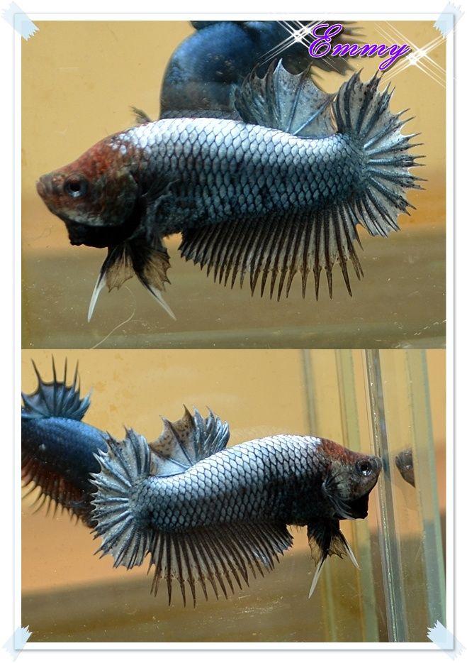 fwbettashmp1425475891 - Steel Blue Red Head Ct PK M#863