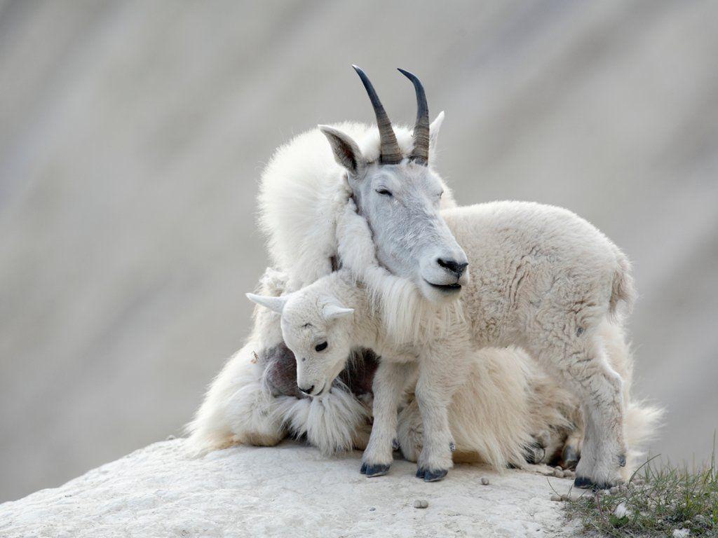 Rocky Mountain Goats, Jasper National Park, Alberta