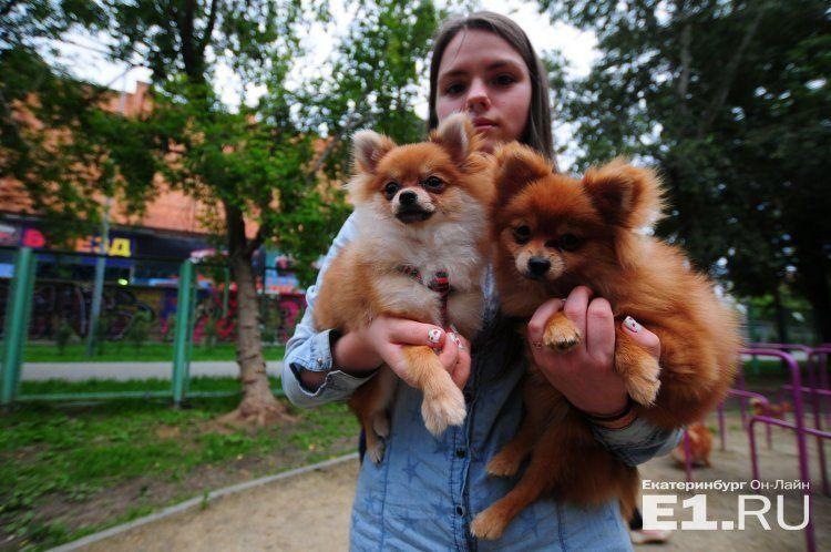 Опасайтесь приступа милоты: 38 пушистых шпицев устроили фотосессию в Екатеринбурге