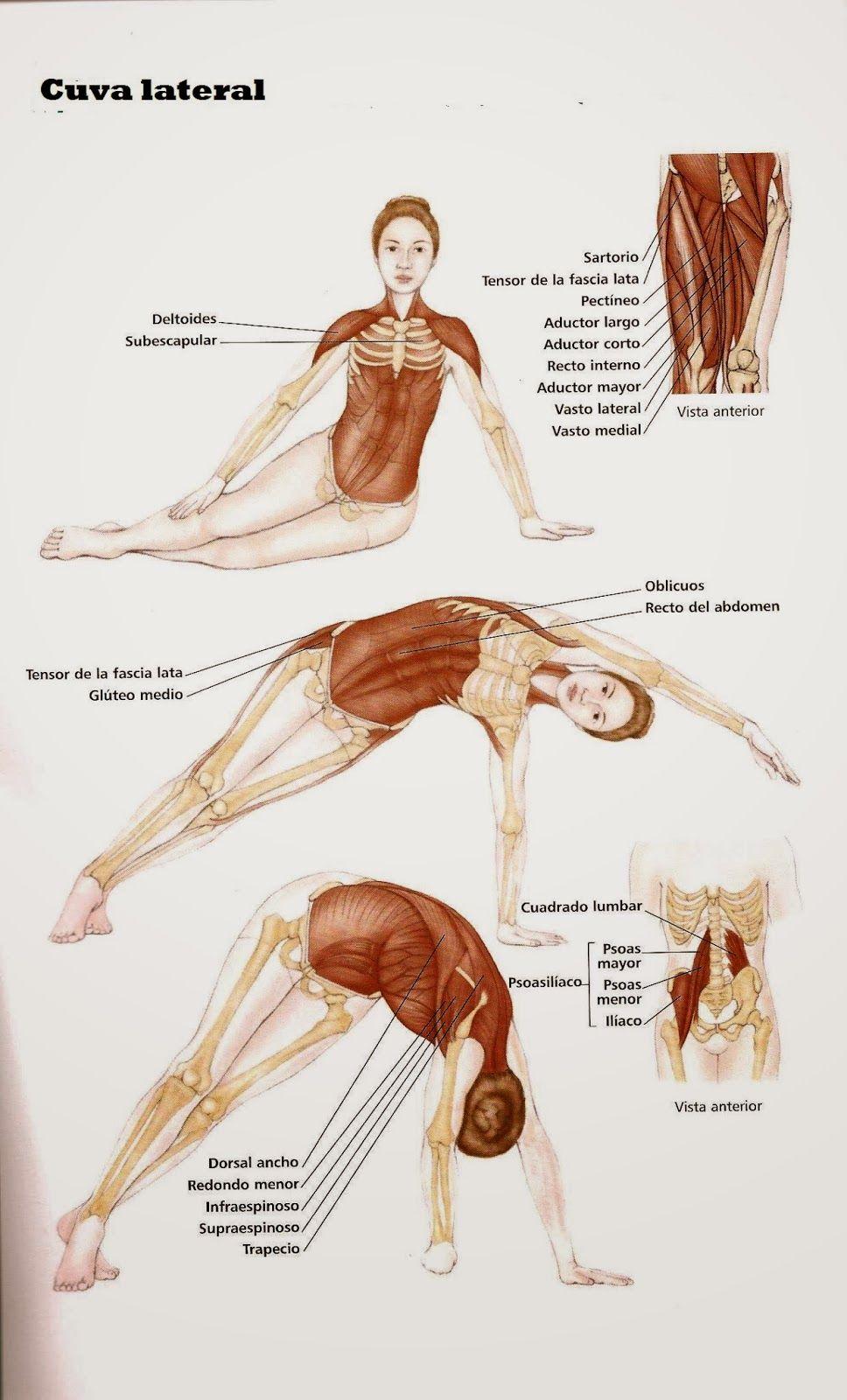 Atractivo Diagrama Deltoides Ilustración - Anatomía de Las ...