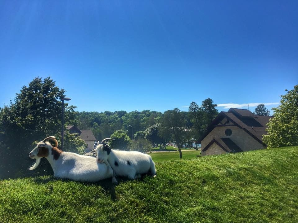 Al Johnson's Swedish Restaurant goats cuddling on the roof
