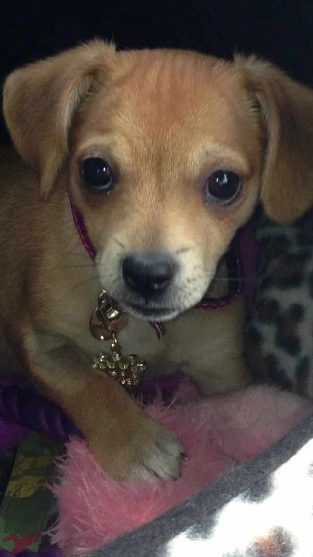 My Little Jackhuahua Puppy Mixed Breed Dogs Chi Dog Puppies