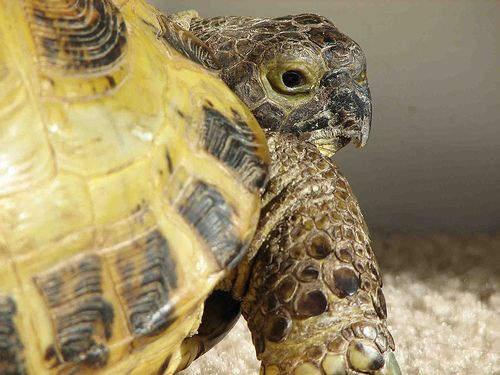 1  The Vet - 7 Tips on Caring for a Russian Tortoise