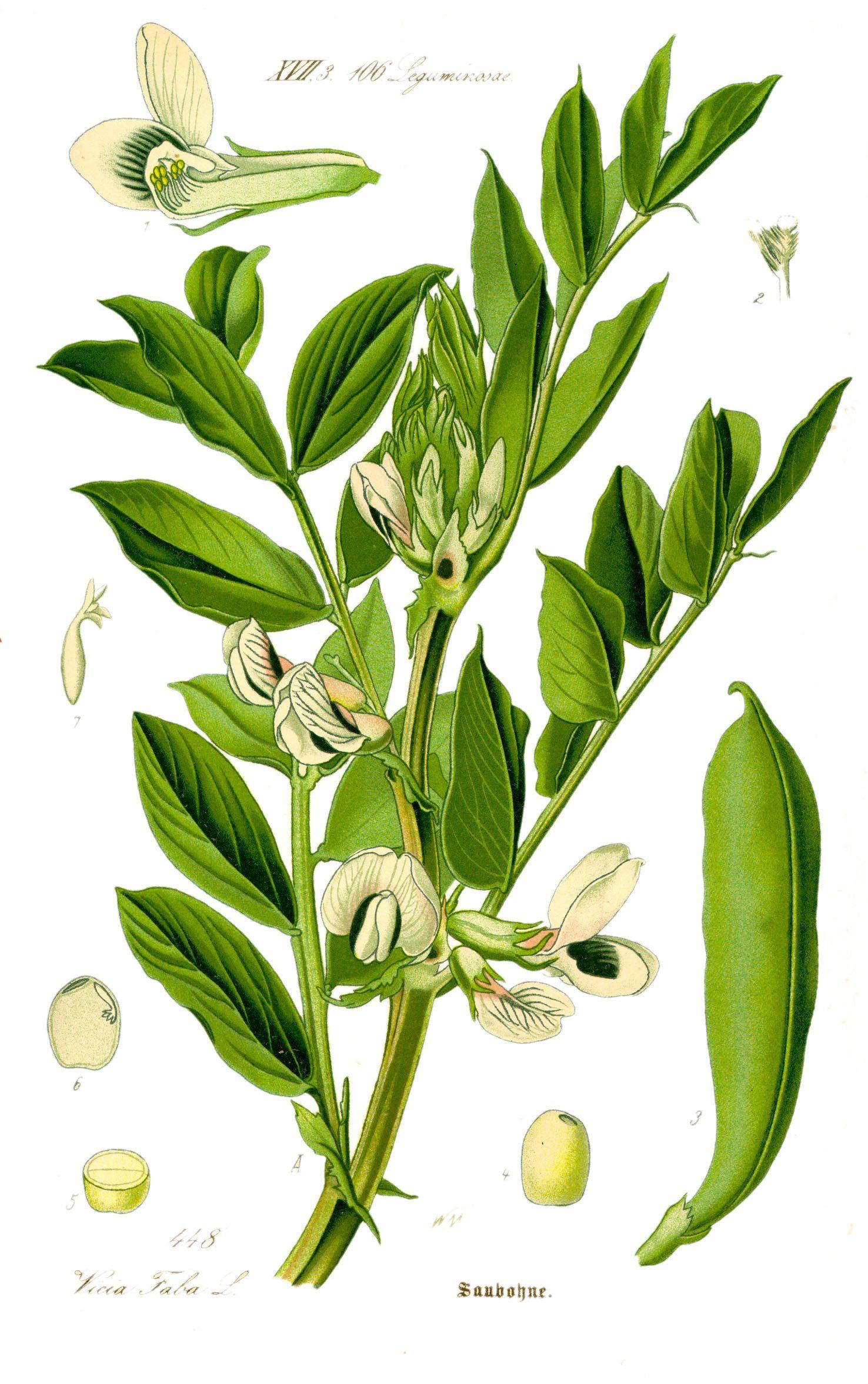 Broad Bean Botanical Print Botanica Ilustraciones 400 x 300