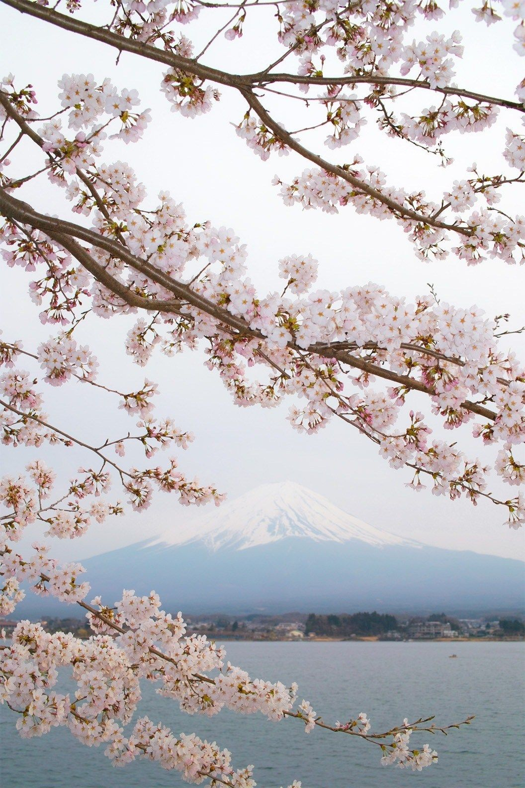 Spring In Japan 2019 When And Where To See The Cherry Blossoms Beautiful Nature Cherry Blossom Japan Japan