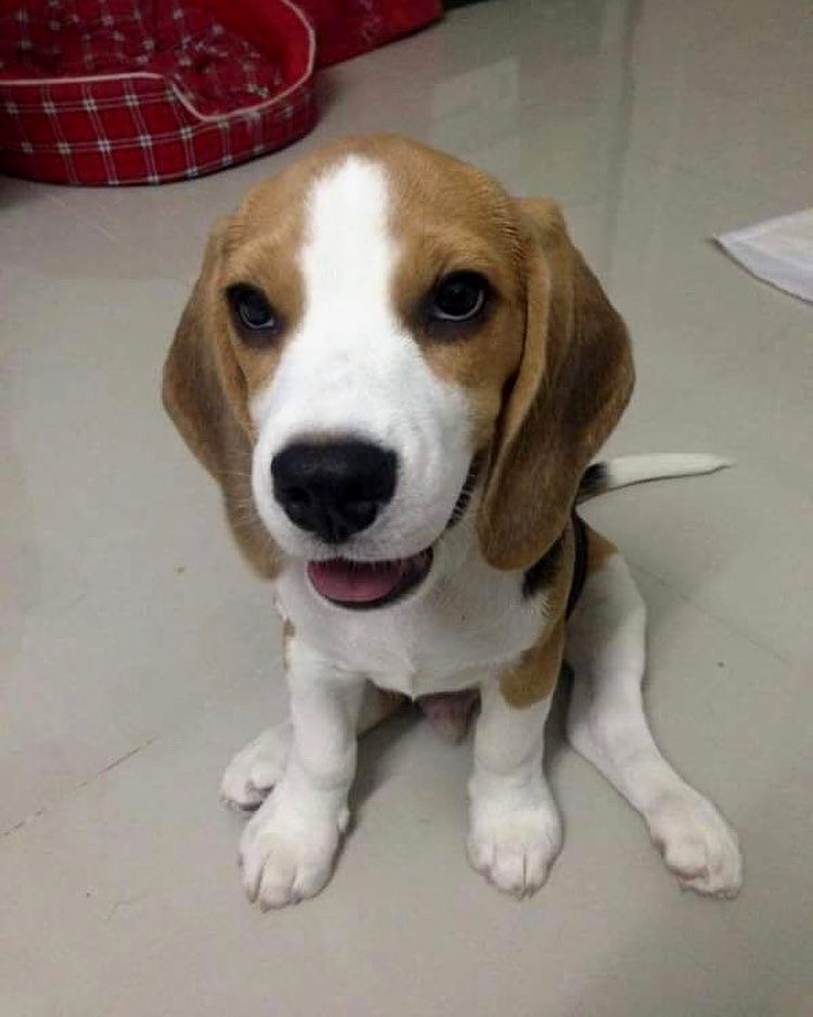 Hello Human Credit To Beagles All Day Follow Us If You Love