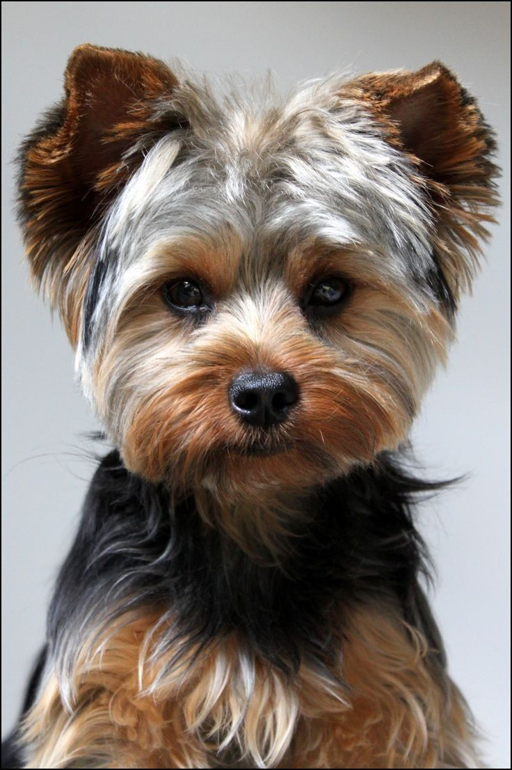 Yorkie Boy Haircuts Yorkie Dogs Yorkie Puppy Yorkshire Terrier Puppies