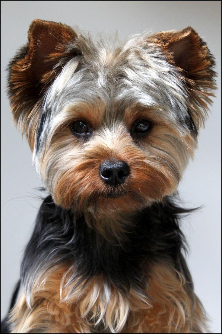 yorkie boy haircuts | yorkie roux dog | yorkie dogs, yorkie