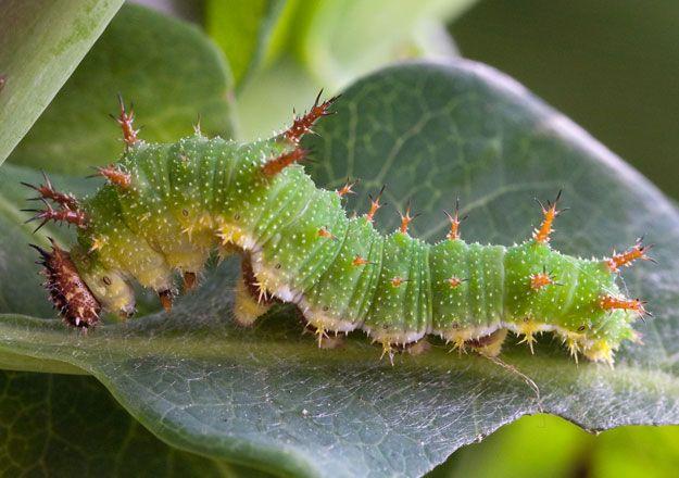 white admiral caterpillar - Google Search