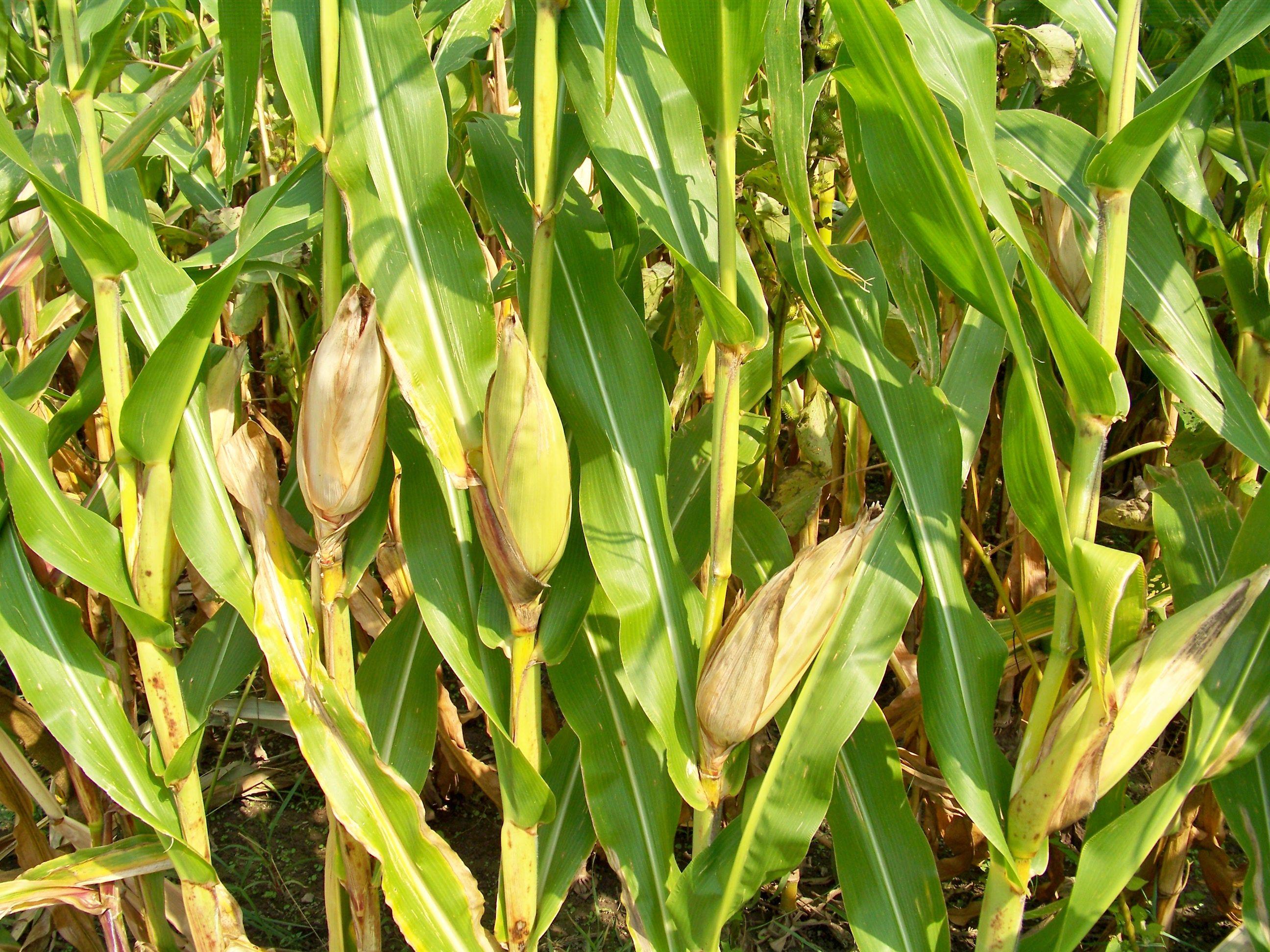 Resultado de imagen para maiz con raiz   plantas   Pinterest ...