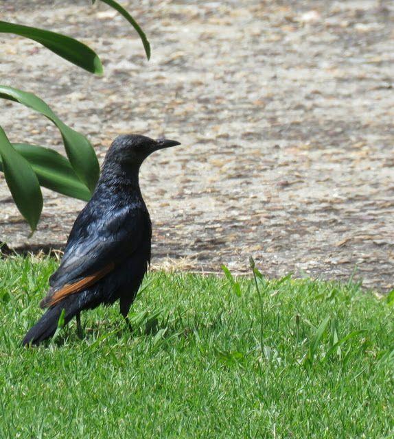 Bird Photos, Birding Sites, Bird Information: RED WINGED STARLING, HAROLD  PORTER