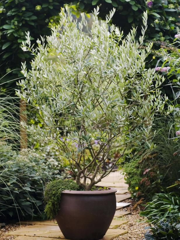 Grow An Olive Tree Potted Olive Tree Olive Trees Landscape Potted Trees