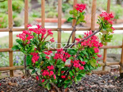 Bright Pink Small Flower Bush A With Spiked Stems Many Thorns And