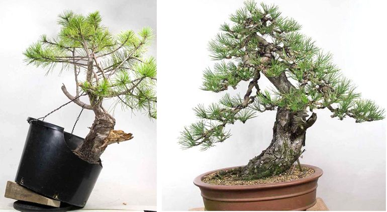 Astonishing Before After Some Serious Bonsai Wiring Bonsai Bonsai Garden Wiring Cloud Nuvitbieswglorg