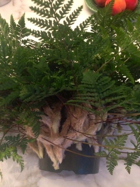 Rabbit Foot Fern...indoor fern Great for children to observe ... on