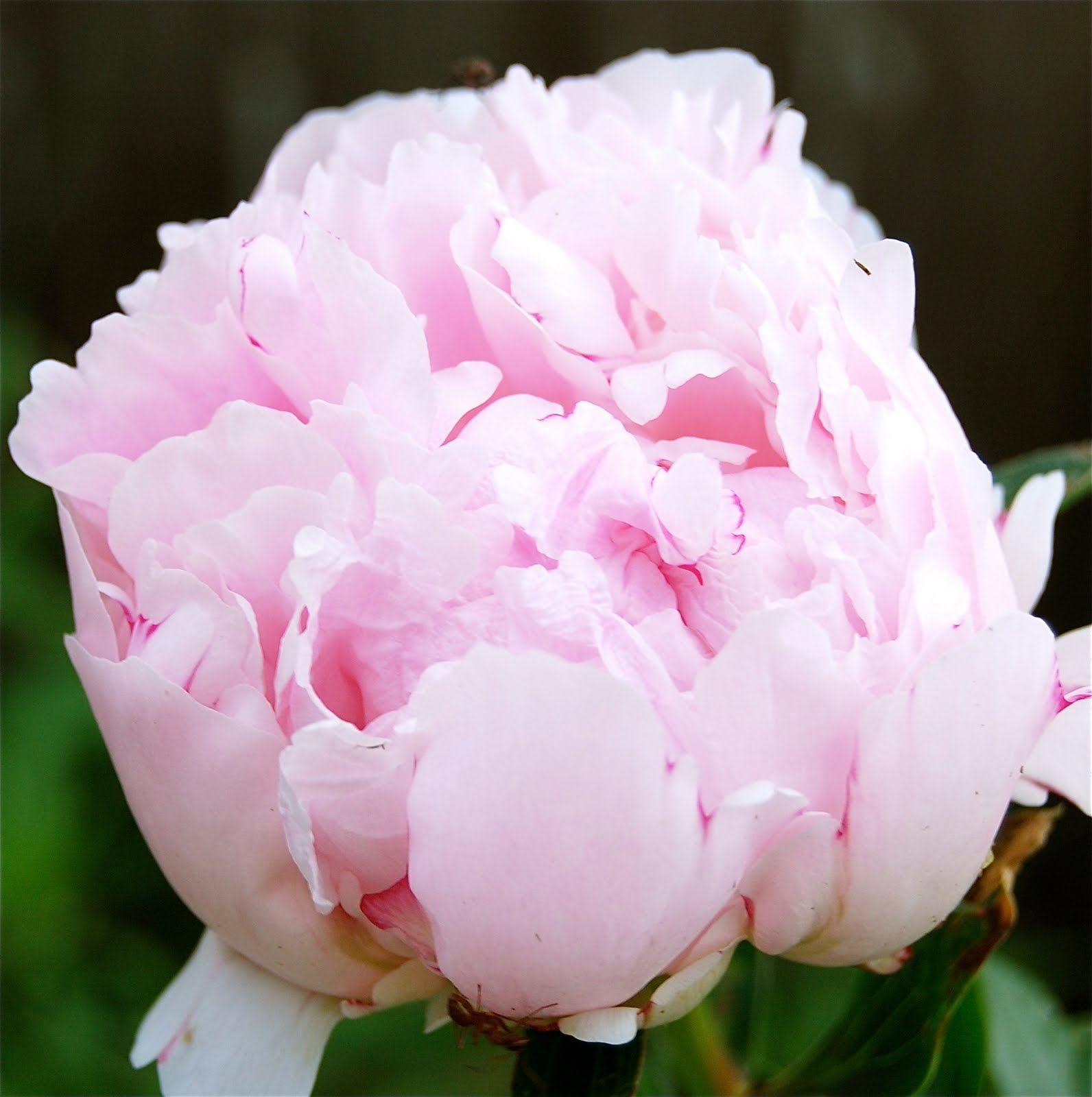 Peonies~beautiful, fragrant and old-fashioned