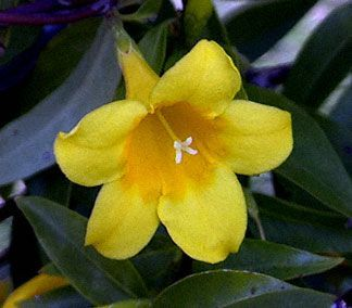 South Carolina State Flower Yellow Jessamine South Carolina