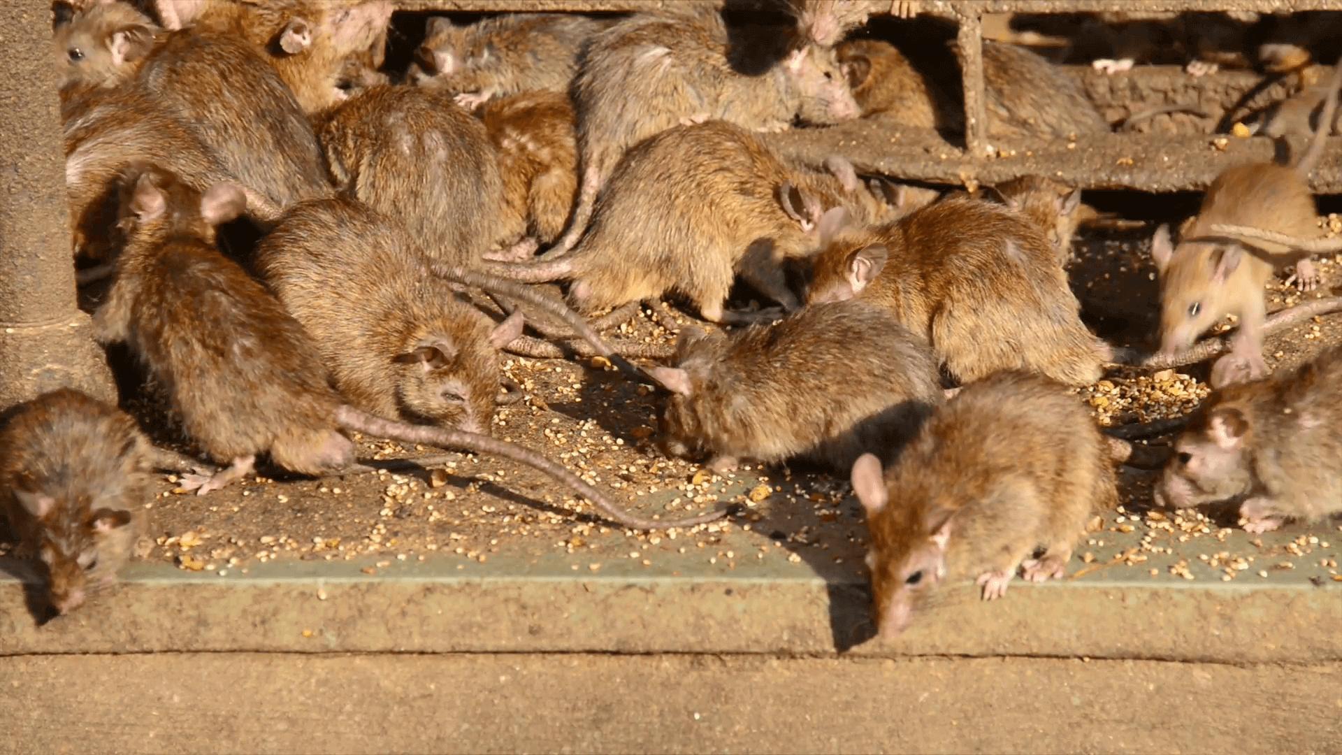 Capybara Reproduction Facts