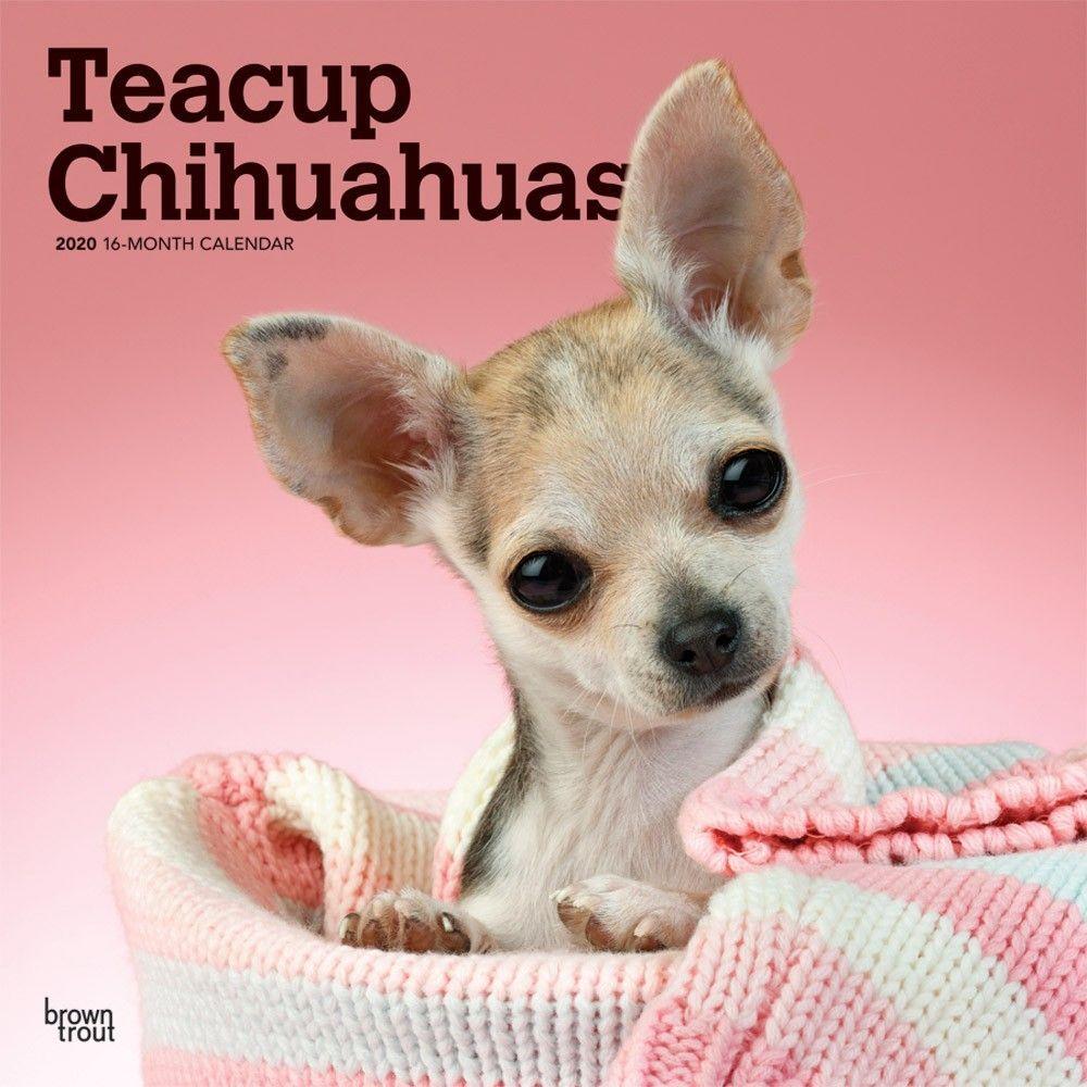 Chihuahuas Teacup 2020 Wall Calendar Teacup Chihuahua Chihuahua