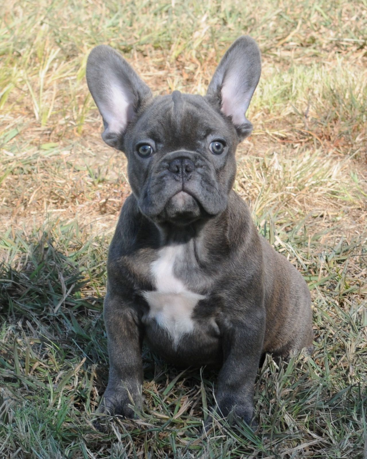 Blue french bulldog! I will have one someday!!!! Limited