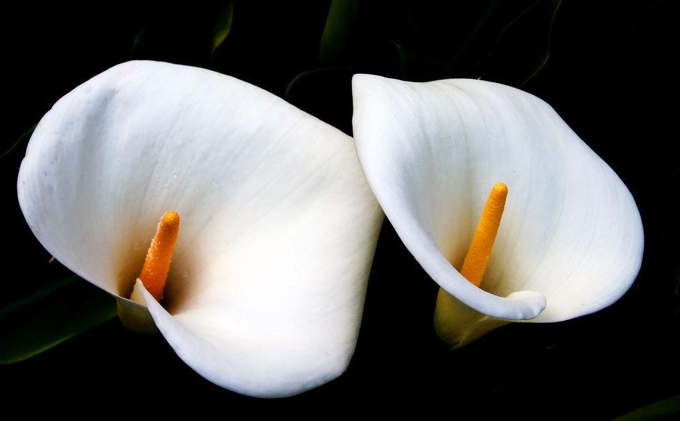 10 Beautiful But Poisonous Plants Poisonous Plants Plants Calla Lily Flowers
