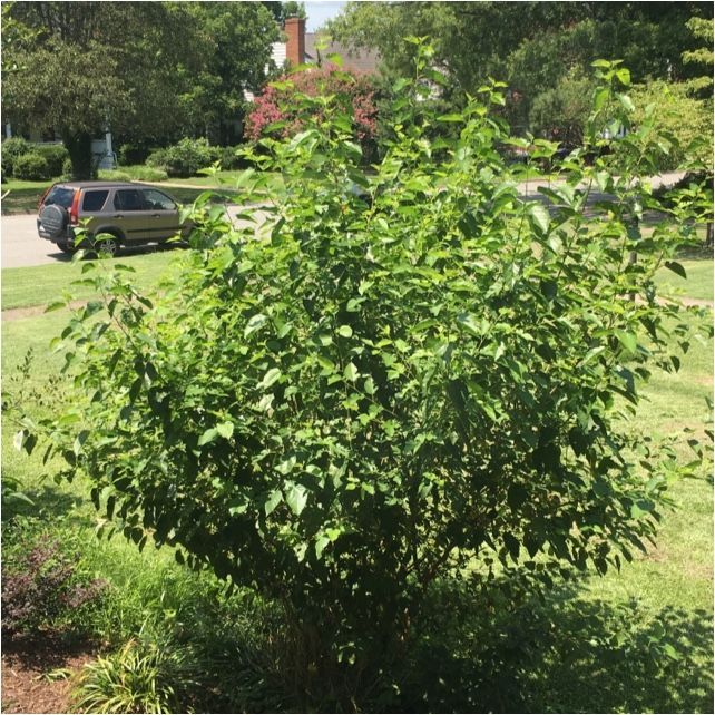 Free Plant Identification Mulberry tree, Speed of sound