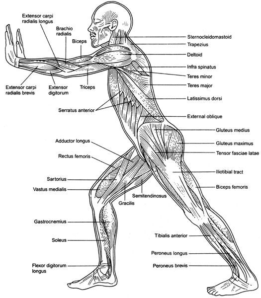 Printable Human Body Muscles Diagram Anatomy Coloring Book