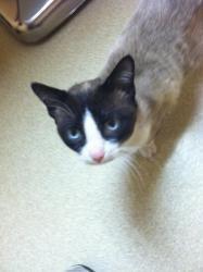 Adopt Simon On Fur Babies Siamese Cats Cats