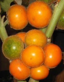100 piezas comestibles del Buen Gusto Jabuticaba Semillas Semillas de fruta sana interior y exterior Bonsai /árbol Novel