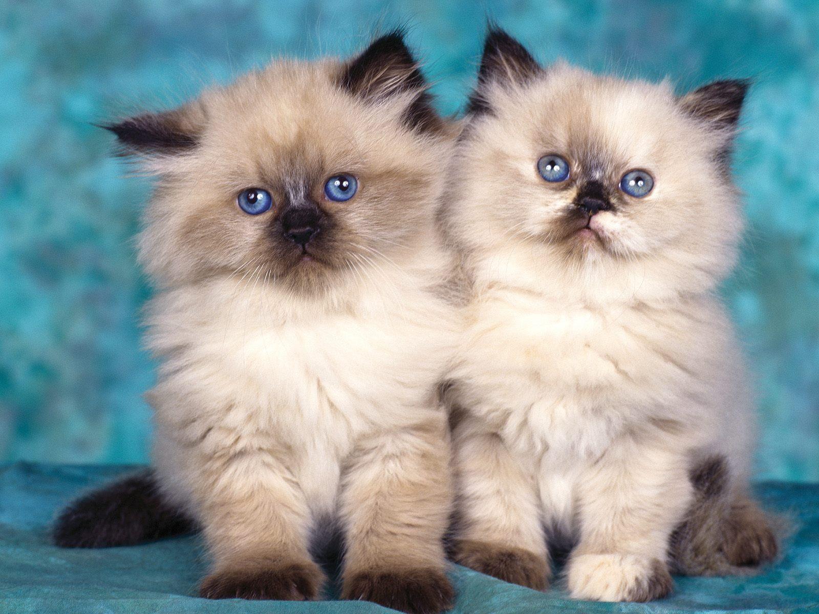 10 Grands Fonds D Ecran Pour De Petits Chatons Fonds D Ecran Gratuits By Unesourisetmoi Chat Himalayen Petit Felin Animaux